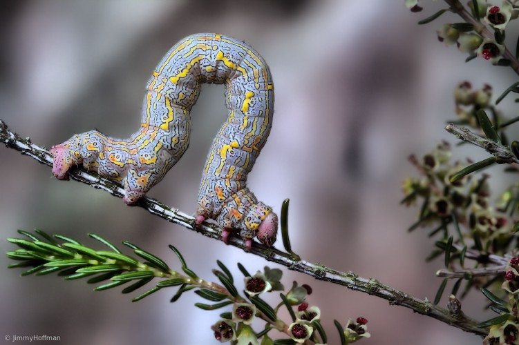 Caterpillar of a Geometer Moth(Lycia hirtaria ). These caterpillars are accordingly called loopers, spanworms, or inchworms after their characteristic looping gait.Photographed in Spain.