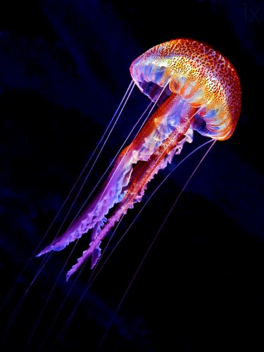 Jelly in a galactic flight through the ocean. (Pelagia noctiluca), Picture taken at Minorca, Balearic island in Spain.