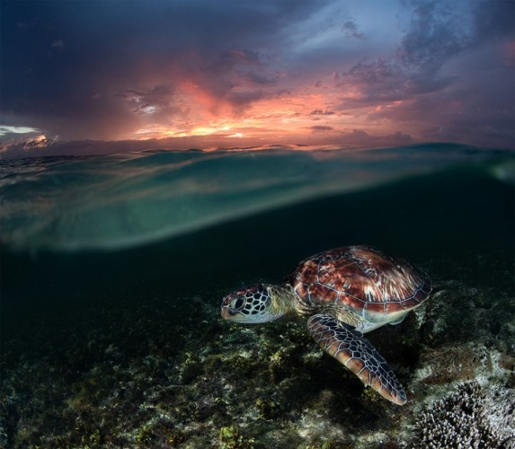 Philippines. Sea turtle at shallow.