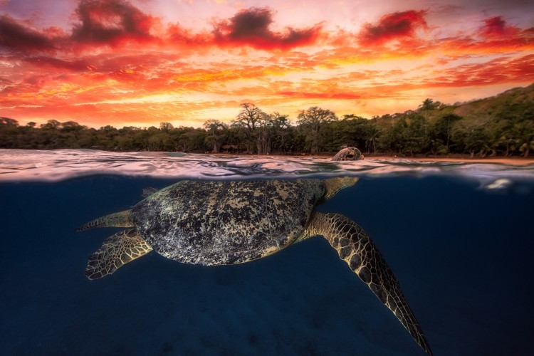 Photo in mid air mid water from a tortue. After sunset, the sky is ablaze. A green turtle back to breathe, I took the opportunity to immortalize this wonderful scene.