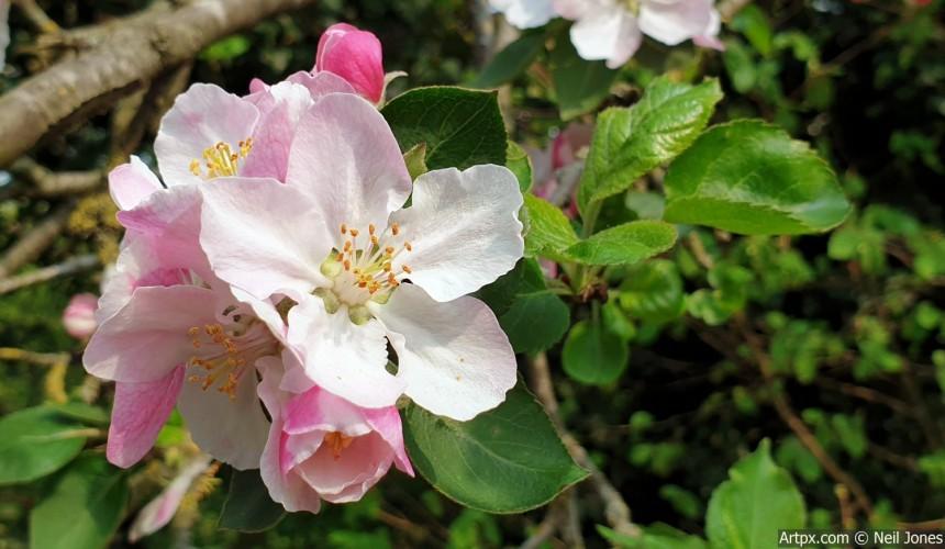Apple-Blossom-Spring-copy.jpg